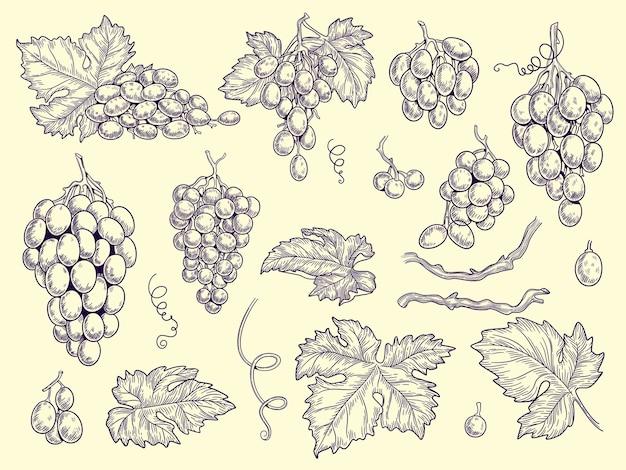 Set di uva. vigneto raccolta uva da vino e foglie incisione immagini grafiche vettoriali per menu ristorante illustrazione vino d'uva, vite gusto fresco