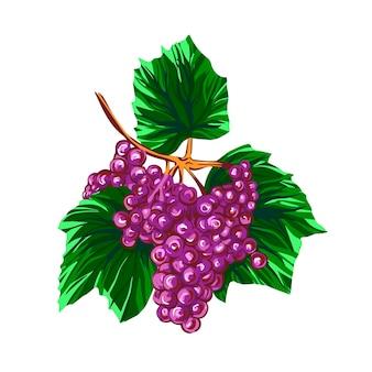 Illustrazione disegnata a mano di schizzo di uva