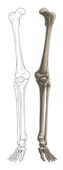 Gambe in osso umano grafiche in bianco e nero