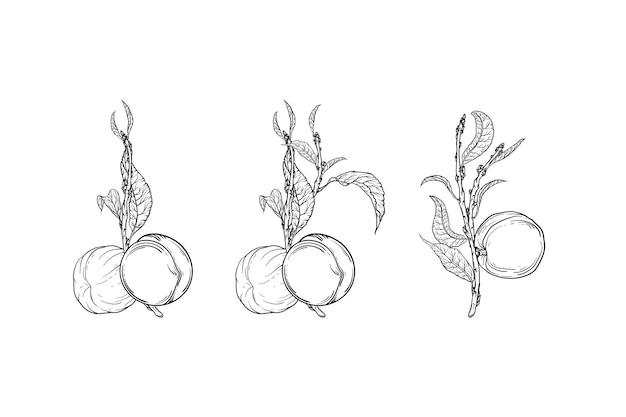 Rami grafici con illustrazione di frutta pesca