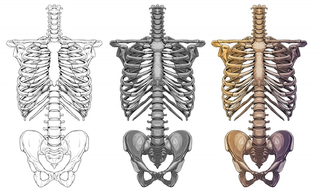 Scheletro umano grafico ossa del torace