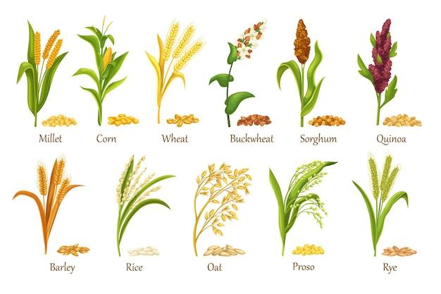 Colture di cereali in erba, illustrazione vettoriale di piante agricole. imposta i semi di cereali in mucchio, il raccolto delle colture agricole. cereali di riso, frumento, mais, segale, orzo, miglio, grano saraceno, sorgo, avena, quinoa, proso.