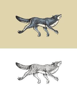 Lupo grigio una bestia predatrice animale della foresta selvaggia che salta vettore inciso disegnato a mano vintage vecchio
