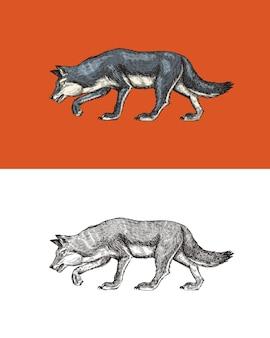 Lupo grigio una bestia predatrice selvaggia foresta animale vettore inciso disegnato a mano vintage vecchio schizzo per