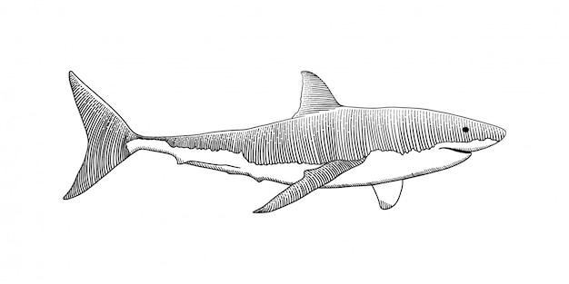 Grande mano dello squalo bianco che disegna l'illustrazione d'annata dell'incisione