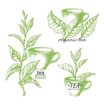 Tè verde bevanda a base di erbe naturale set di simboli vintage segno illustrazione disegnata a mano botanica