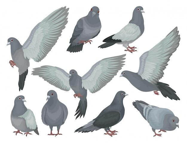 Set di piccioni grigi, colombe in diverse pose illustrazioni su uno sfondo bianco