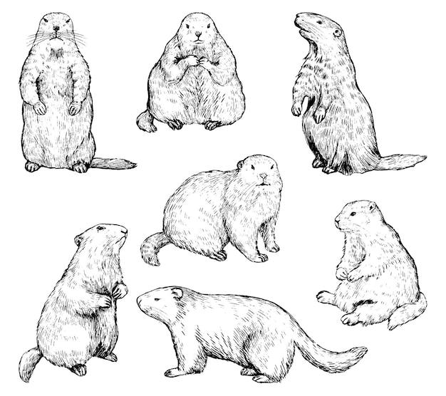 Marmotte in diverse posizioni. ¡ute collezione marmotta. elementi di festa della marmotta. set di illustrazione vettoriale disegnato a mano. schizzo nero vintage isolato su bianco. clipart in stile incisione.
