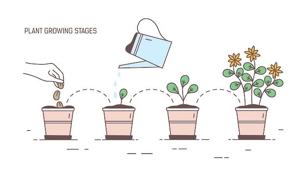 Fasi di crescita della pianta in vaso