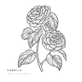 Illustrazione di fiori di camelia di tiraggio della mano