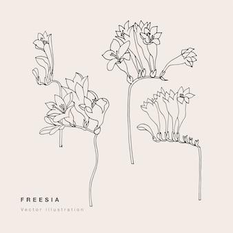 Illustrazione di fiori di fresia di tiraggio della mano.