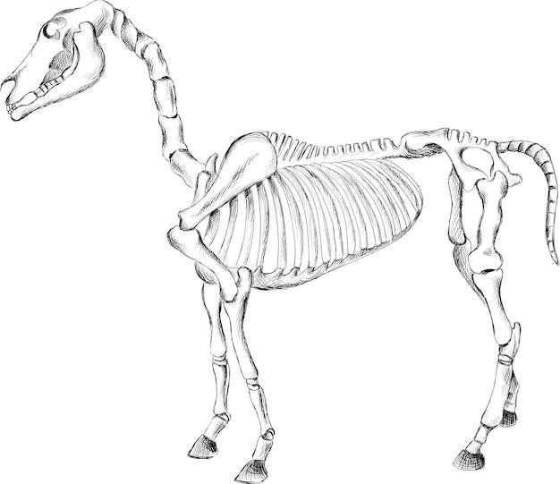 Illustrazione di scheletro del cavallo di tiraggio della mano