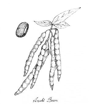 Disegnato a mano di piante di fagioli adzuki