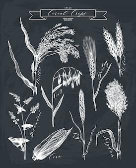Schizzi di piante agricole disegnati a mano. raccolta di piante di cereali e legumi abbozzato a mano sulla lavagna