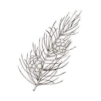 Bellissimo disegno botanico disegnato a mano del ramo di pino con foglie e coni aghiformi.
