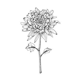 Fiore disegnato a mano del crisantemo e foglie che disegnano illustrazione isolata.