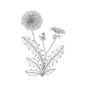 Illustrazione floreale del dente di leone disegnata a mano con line art