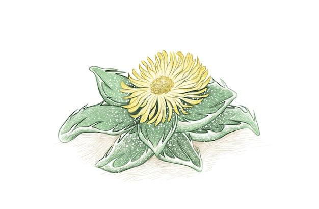 Disegnato a mano della pianta succulenta faucaria tigrina