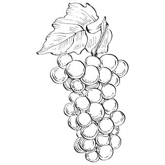 Vino di disegno dell'illustrazione di schizzo dell'uva disegnata a mano