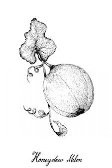Disegnato a mano del melone di melata su fondo bianco
