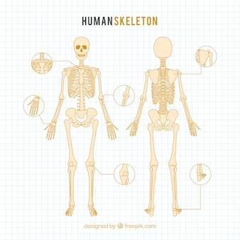 Disegnato scheletro umano a mano