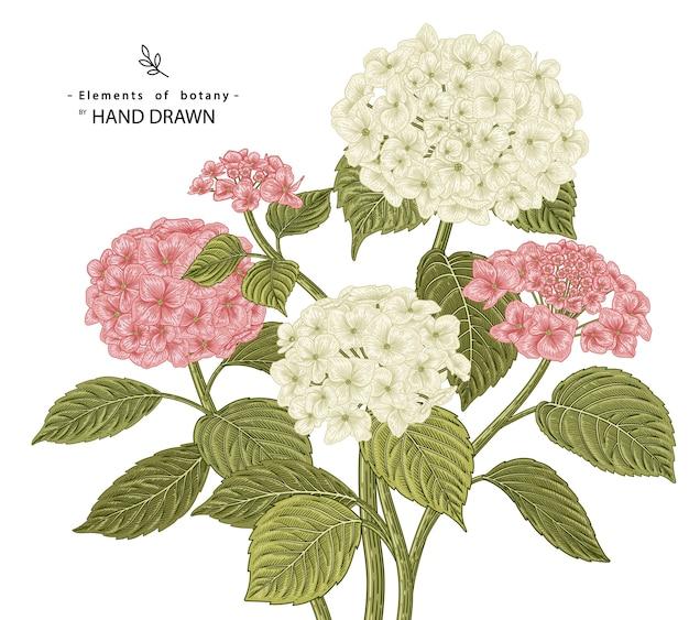 Illustrazione disegnata a mano dell'insieme decorativo del fiore dell'ortensia rosa e bianco isolato su sfondi bianchi