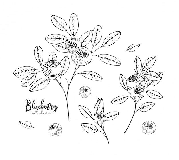Illustrazioni disegnate a mano di mirtillo isolato su sfondo bianco.