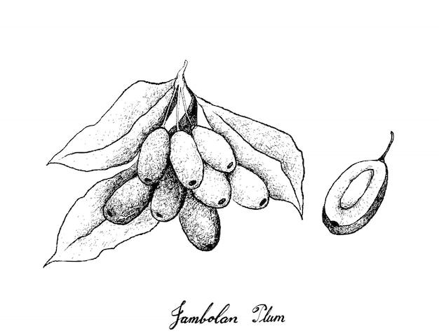 Disegnato a mano di prugne jambolan su sfondo bianco