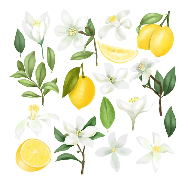 Limoni disegnati a mano, rami di albero di limone, foglie e fiori di limone clipart, isolato su sfondo bianco