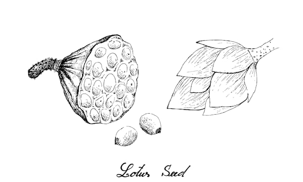 Disegnato a mano di baccello di loto con semi