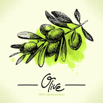 Illustrazione di oliva disegnata a mano con retro acquerello