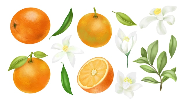 Arance disegnate a mano rami di albero, foglie e fiori d'arancio clipart, isolato su uno sfondo bianco