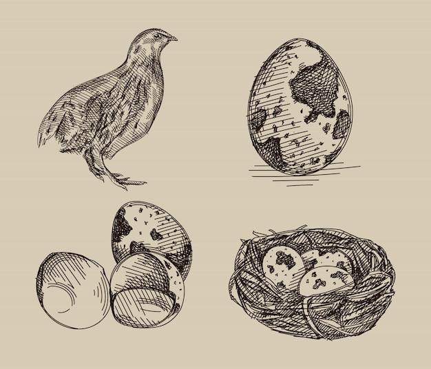 Schizzo disegnato a mano del set di quaglie. il set è composto da una quaglia, uova di quaglia e uova di quaglia nel nido