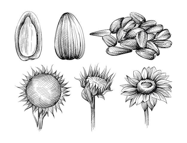 Insieme di schizzo disegnato a mano di semi di girasole e girasole su sfondo bianco. sbucciare i semi. manciata di semi di girasole.