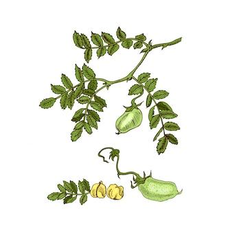 Schizzo disegnato a mano soia, ceci, fagioli, pianta di lenticchie. illustrazione.