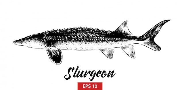 Schizzo disegnato a mano di pesce storione in nero