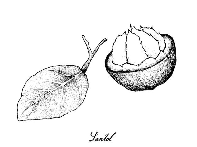Disegnato a mano della frutta matura dolce di santol su fondo bianco