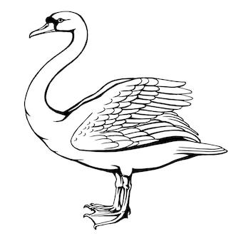 Illustrazione vettoriale disegnata a mano di cigno isolato su sfondo bianco per libri e pagine da colorare