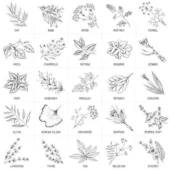 Insieme disegnato a mano di vettore delle illustrazioni dell'annata delle erbe e delle spezie.