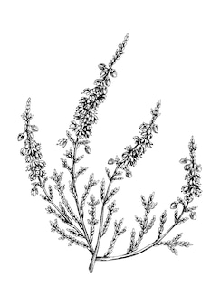 Illustrazione di erica abbozzato a mano. disegno floreale estivo vintage. pianta tradizionale della scozia. elementi botanici in stile inciso. fiori di erica.
