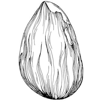 Nocciola, nocciola, cobnut disegnati a mano illustrazione vettoriale isolato su sfondo bianco. prodotto agricolo in stile retrò per menu del ristorante, etichetta di mercato, logo, emblema e design della cucina. decorazione per il cibo.