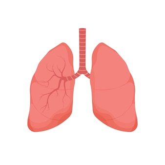 Organo interno umano polmoni sani isolato