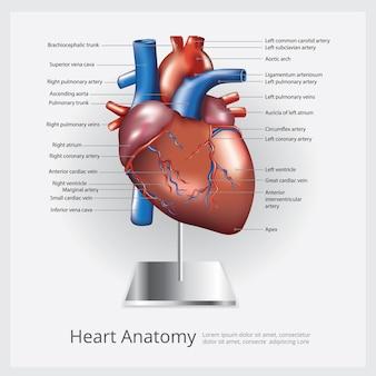Illustrazione di anatomia del cuore
