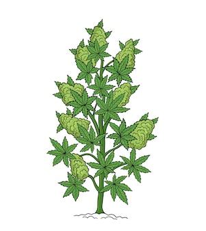 Canapa, cannabis sativa, cannabis indica, cannabis ruderalis o chanvre, pianta medicinale.