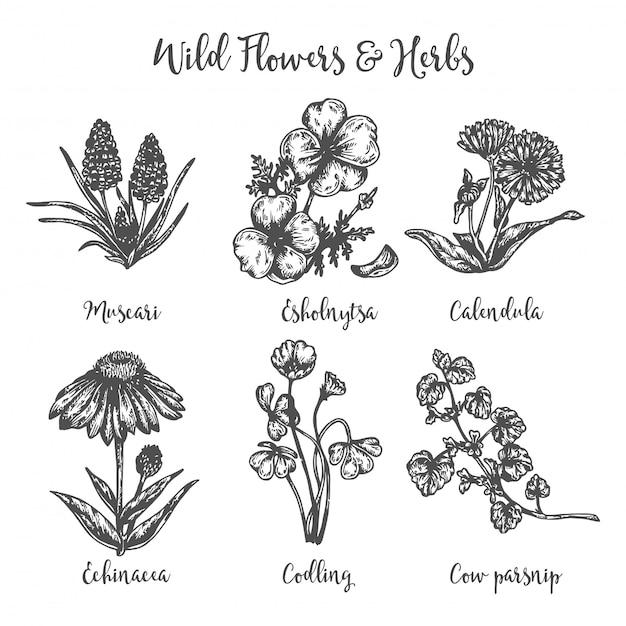 Insieme disegnato a mano medicinale di erbe