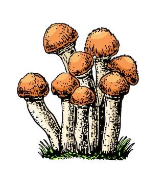 Illustrazione disegnata a mano del fungo dell'agarico del miele. alimento di schizzo che attinge fondo bianco. prodotto vegetariano biologico per ricetta, menu, etichetta, icona, confezione. schizzo di funghi d'epoca.