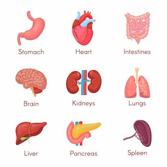 Set di organi interni di anatomia umana con cervello, polmoni, intestino, cuore, reni, pancreas, milza, fegato e stomaco. illustrazione isolata