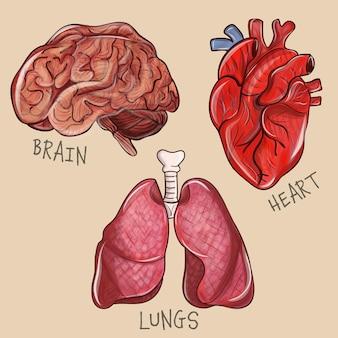 Organo interno di anatomia umana con cervello e polmoni con cuore