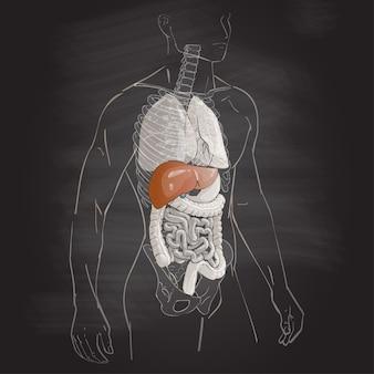Fegato di anatomia del corpo umano