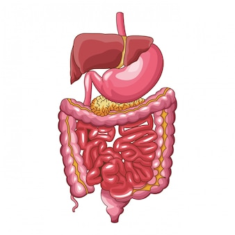 Sistema digestivo umano Vettore Premium